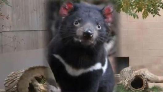 Jasper the Tasmanian Devil
