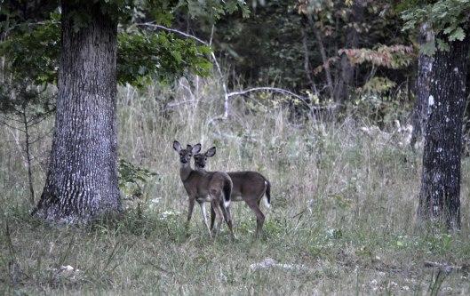 Deer-1_DSC1186